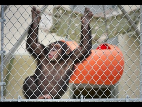 Chimpanzee Lawsuit Seeks Freedom, Personhood For Apes