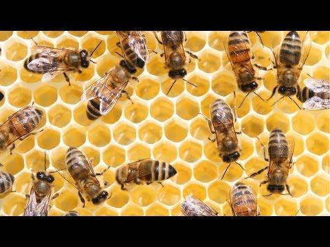 Clique e veja o vídeo Curso Produção de Rainhas e Multiplicação de Enxames