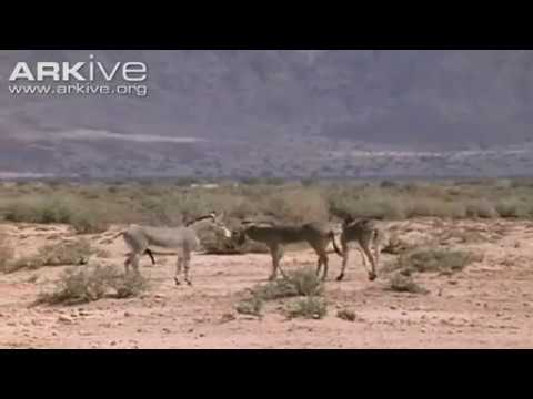 African Wild Ass ( Equus Africanus Somalicus) Mating video