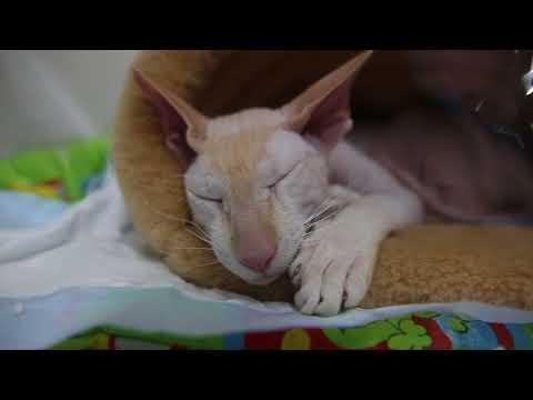 Выставка кошек Мартовский кот в Хабаровске 4 марта 2018