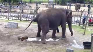 Elephant qui fait pipi caca