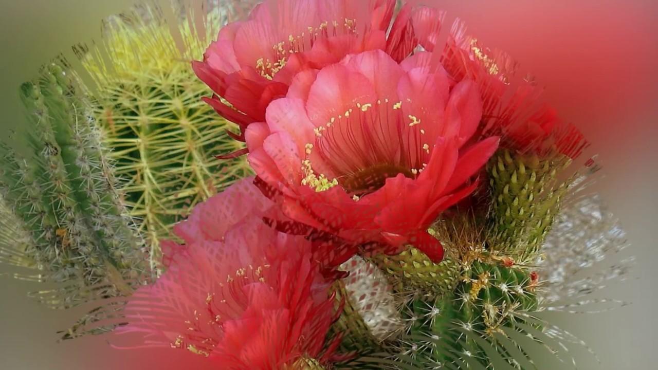 Разновидности кактусов цветок фото
