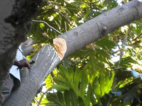 79 Yr Old Haitian Man Chops Down Breadfruit (Lam) Tree with Machete