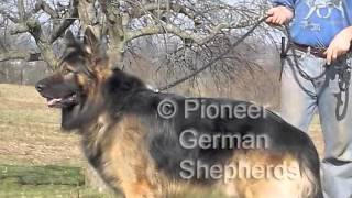 Large-boned German Shepherd puppy for sale - blue collar