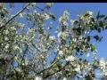 Видео Е.Мартынов Яблони в цвету поет Е   Мартынов