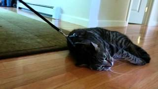 Lazy cat doesn't want to go for a walk after all