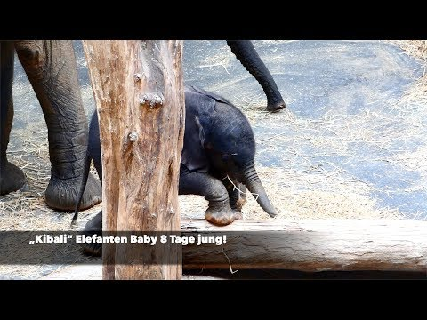 Jungtier Baby Kibali 8 Tage alt & Mama Numbi Afrikanischer Elefant Loxodonta africana fz82 Superzoom