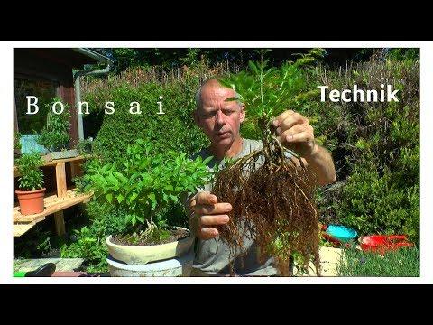 Bonsai Techniken Einpflanzen Vorbereitung zum Bonsai Substrat herstellen Wurzelgestaltung