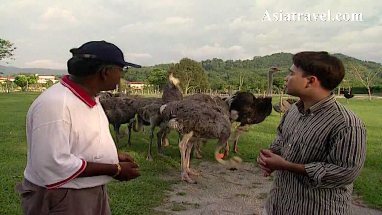Ostrich Farm Malaysia Ostrich Farm Malaysia by