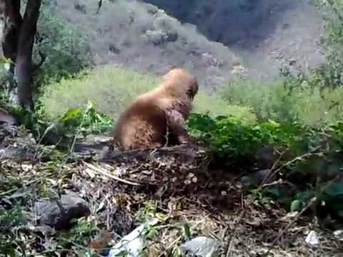 Golden Retriever ( Bob ) Catamarca video