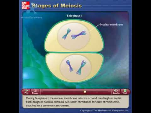Stages Of Meiosis video
