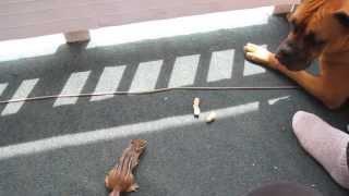 Squirrel vs dog, Écureuil Vs Chien Tamia boxer