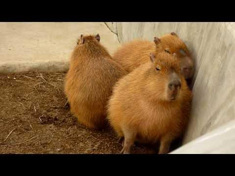 カピバラの「風が強くてここは寒いです」(Capybaras say it's too cold.)