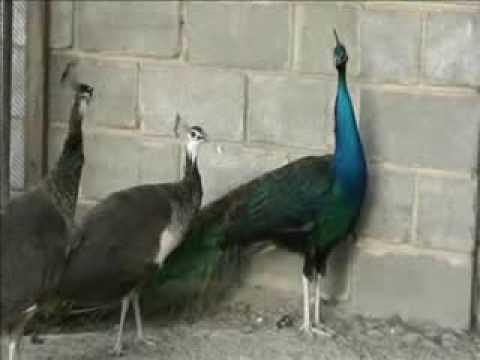 Фазаны павлины перепела Pheasants peacocks quails