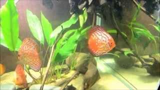 Интерактивный аквариумный туризм Сезон 2 Выпуск 18(Небольшая Амазонка)