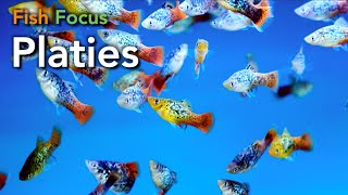 Fish Focus - Platies
