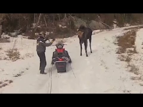 Maine couple attacked by moose