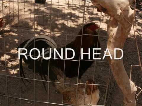 gallos finos rancho-gallos de pelea piedra india