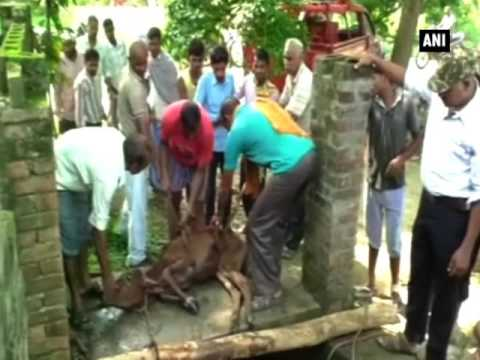 Watch: Calf rescued from 40 feet well - ANI News