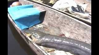 A huge giant electric eel