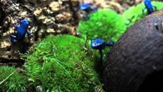 Blue Poison Dart Frog Feeding - Dendrobates tinctorius azureus