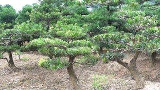 Tham khảo giá cây ở khu vườn rộng như rừng ở làng nghề cây cảnh - Price of bonsai tree in the garden