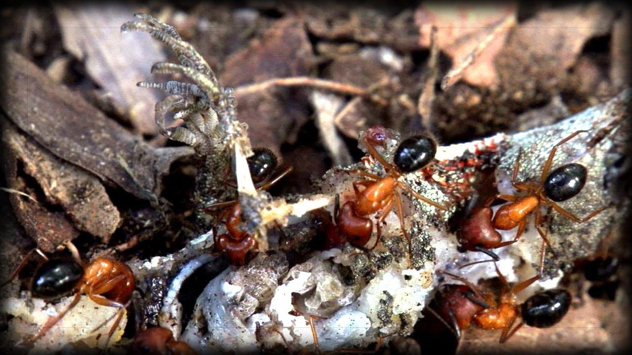 Lizards Eat Ants Fire Ants vs Lizard 02