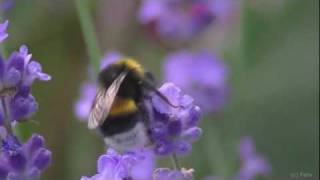 Nature documentary: Day of a bumble bee