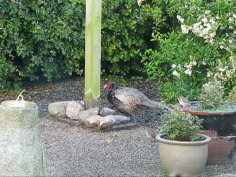 Wild Pheasants Ireland Wild Pheasants Visiting The