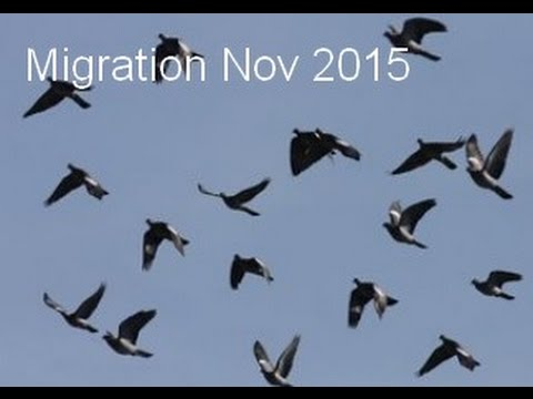 Migration De Pigeon 1 Nov 2015
