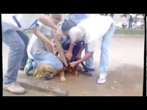 Pit Bull ataca Chow-chow em Colider