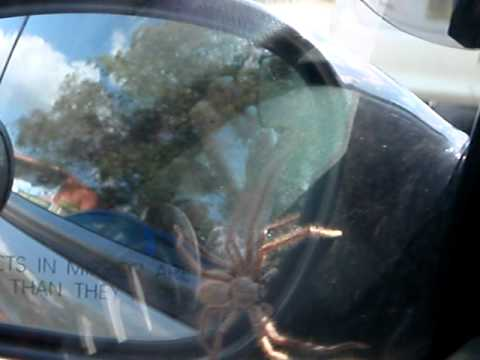 Worlds Biggest Car >> Huntsman Spider on the Outside of Car - YouTube
