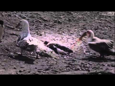 Penguin vs Giant Petrel - A violent death in Antarctica.