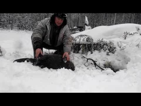 ловля барсука для западня видео