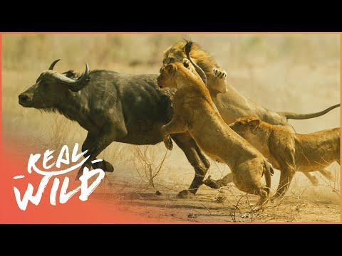 Brand New 2018 Lion Documentary - King of the Jungle HD