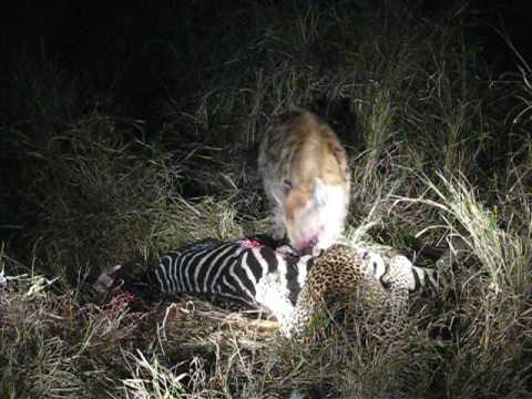 Leopard and Hyena Fight at Mala Mala