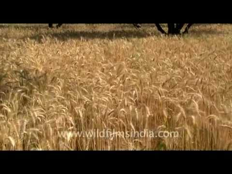 Wheat field ready for harvest in India