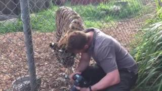 Indira the Tiger