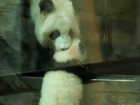 Baby Panda - Zoo Atlanta