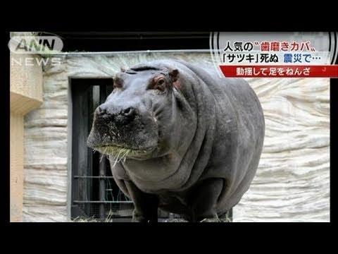 大震災でけがの「歯磨きカバ」死亡 上野動物園(11/04/18)
