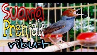 Suara PRENJAK RIBUT [tarung] | pikat burung prenjak | pancing bunyi prenjak bahan