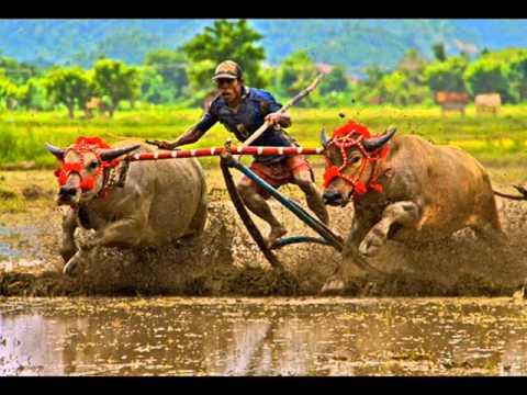 Lagu Sumbawa Indonesia barapan (buffalo Races), Video Clips By Abdul Kadir Mustaram video