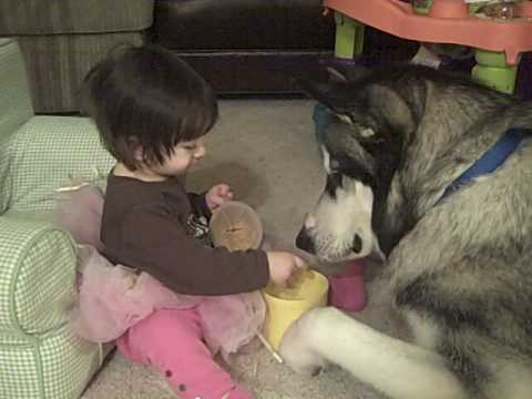 baby and giant alaskan malamute dog