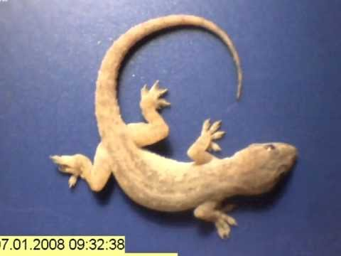 Time lapse - whole gecko eaten by ants in just a few hours!