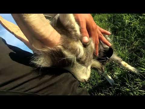В гостях у Болика - продал козлят