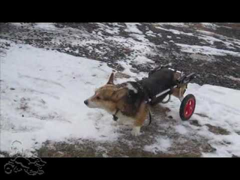 Corgi Dylan Playing in Snow in Dog Wheelchair Video