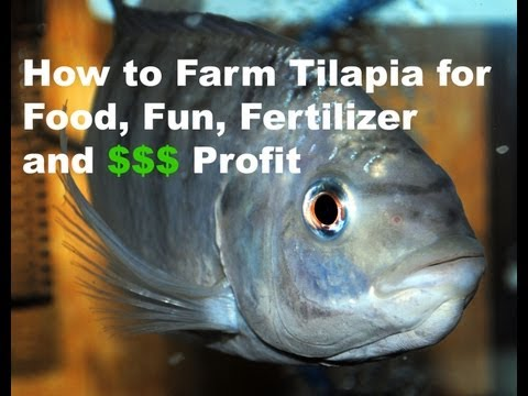 How to Farm Tilapia for Food. Fun. Fertilizer & Profit 9-5-13