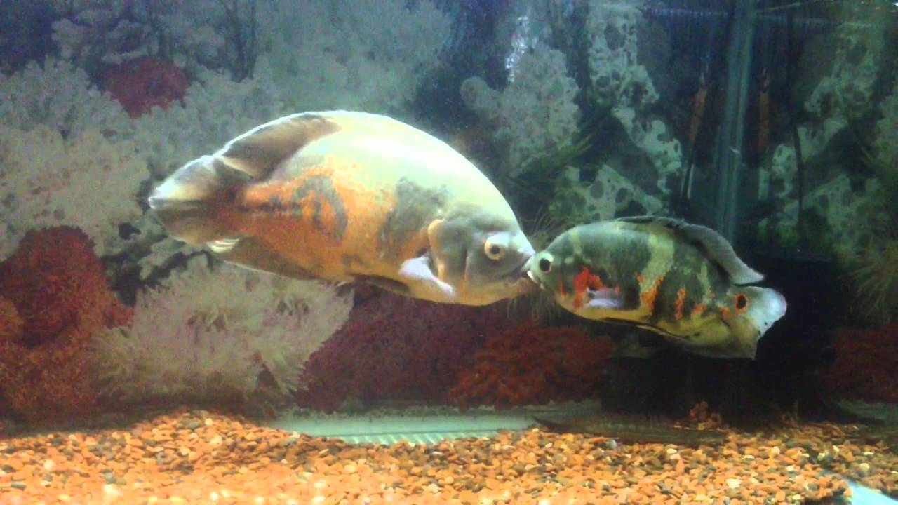 Small Tiger Oscar vs B... Giant Oscar Fish