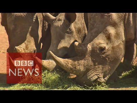 Extinction warning for Africa's rhinos - BBC News