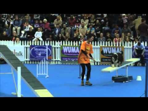 Sport News, agility: Australian Shepherd Leyda in dog agility contest, South Africa